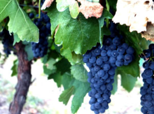 Shiraz grapes ripening at Glenguin