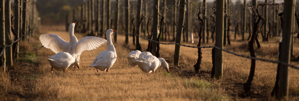 The geese of Glenguin